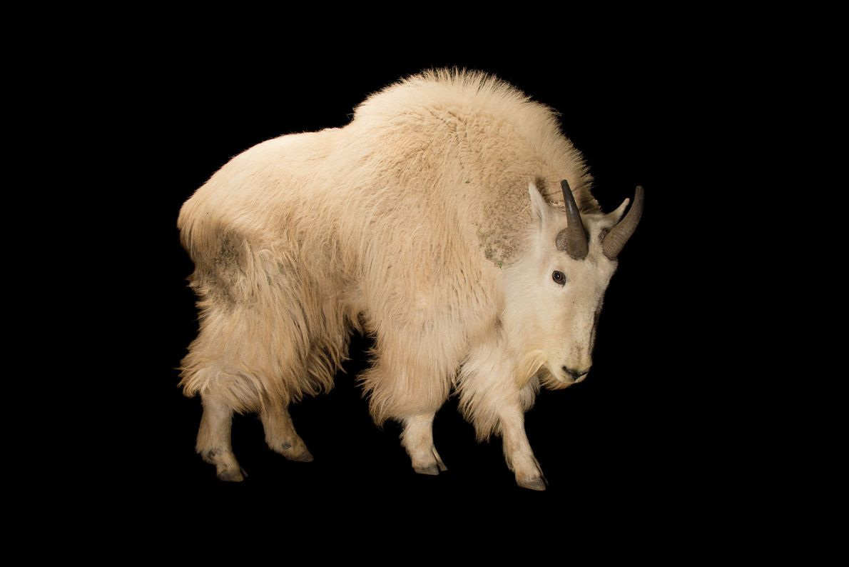 Esta cabra-das-rochosas macho exibe seu atarracado par de chifres negros. Estes animais de altitude habitam o ...