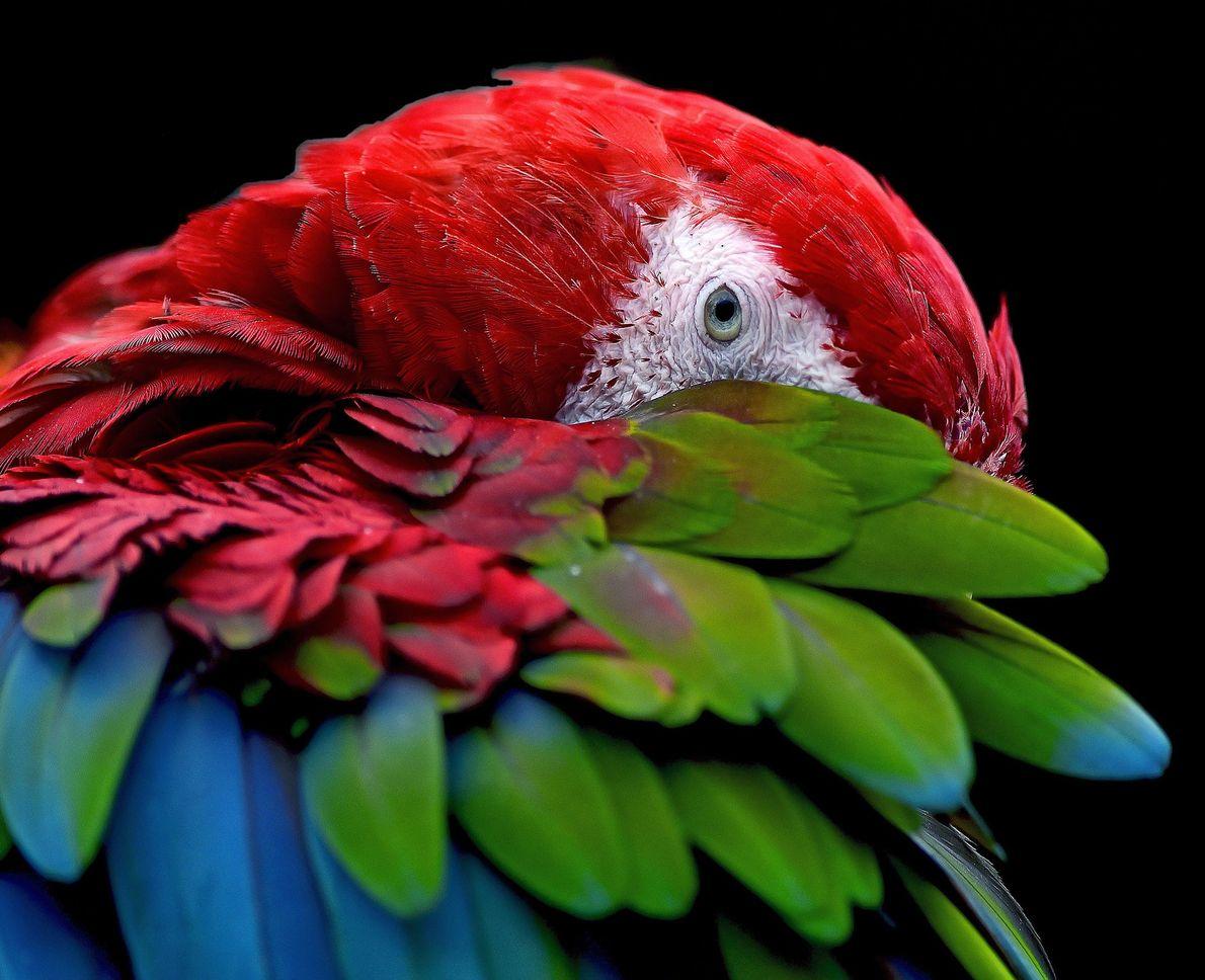 Scarlet macaw. Seoul, South Korea