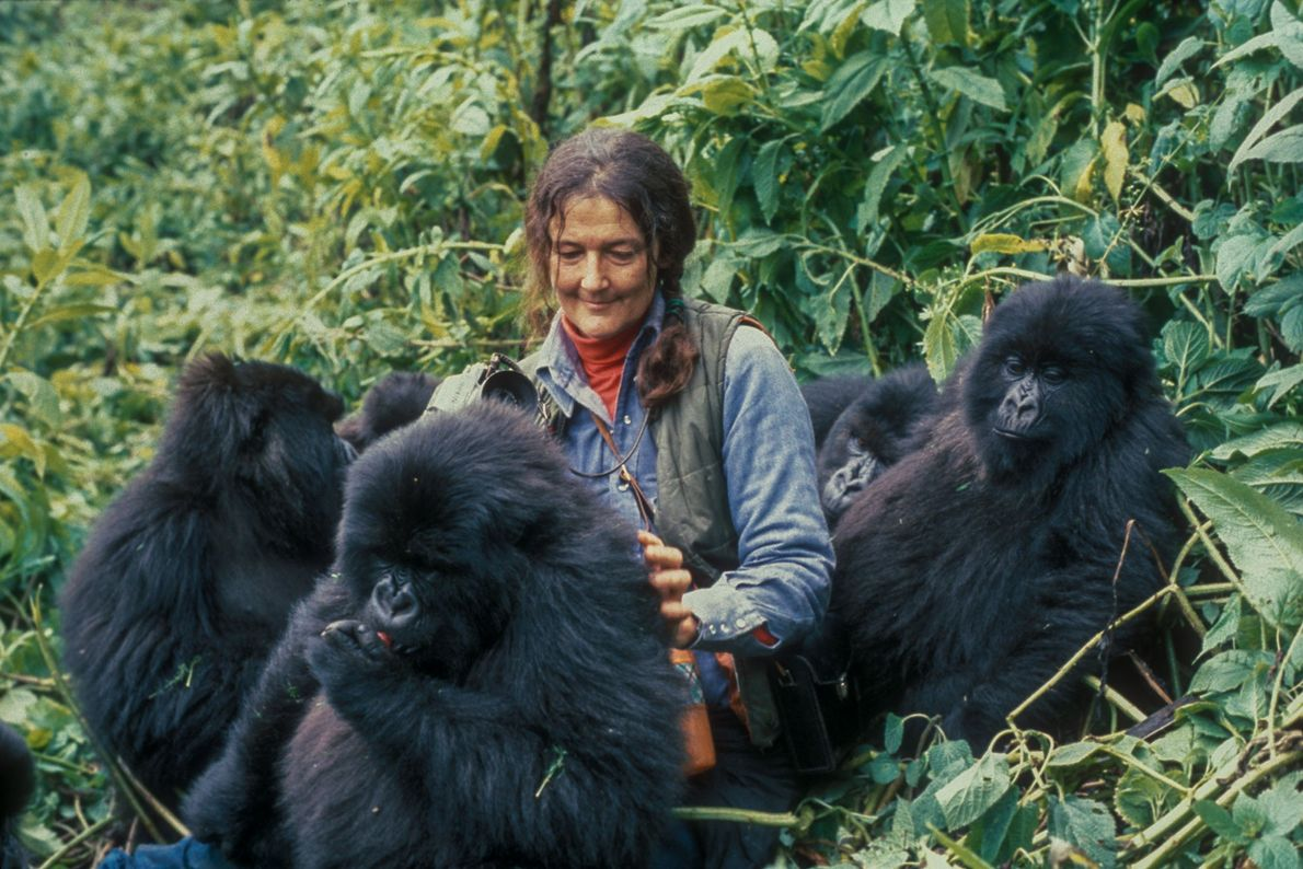 Após imitar ações e hábitos dos gorilas, como alimentação e tratamento, Fossey foi amplamente aceita pelos ...