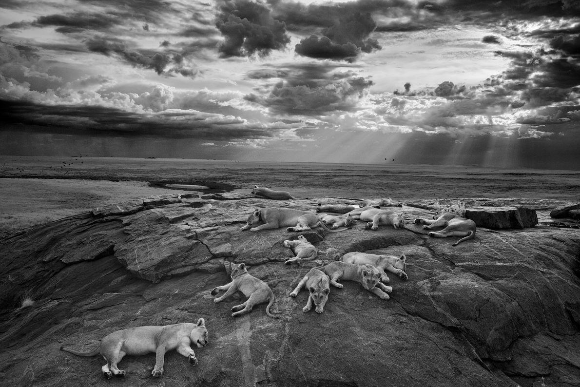 As leoas e os filhotes do orgulho Vumbi descansam em um kopje, um afloramento rochoso, perto ...