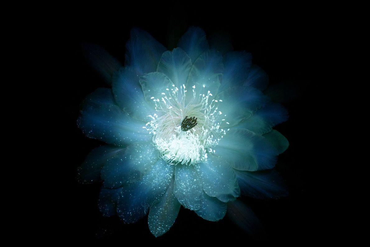 brilho-das-flores-ultravioletaStenocereus-thurberi