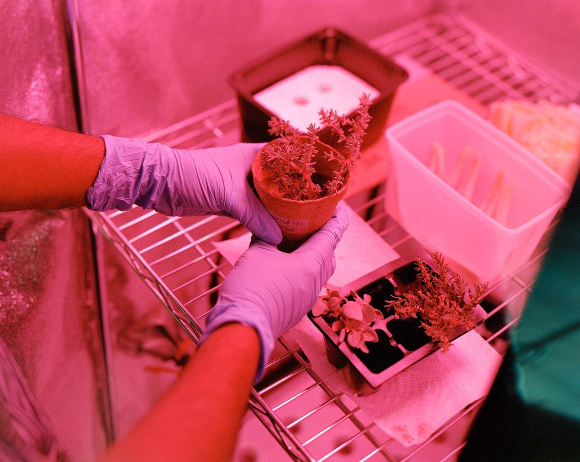 Estas amostras de plantas foram cultivadas em solo marciano simulado como parte de um experimento na ...