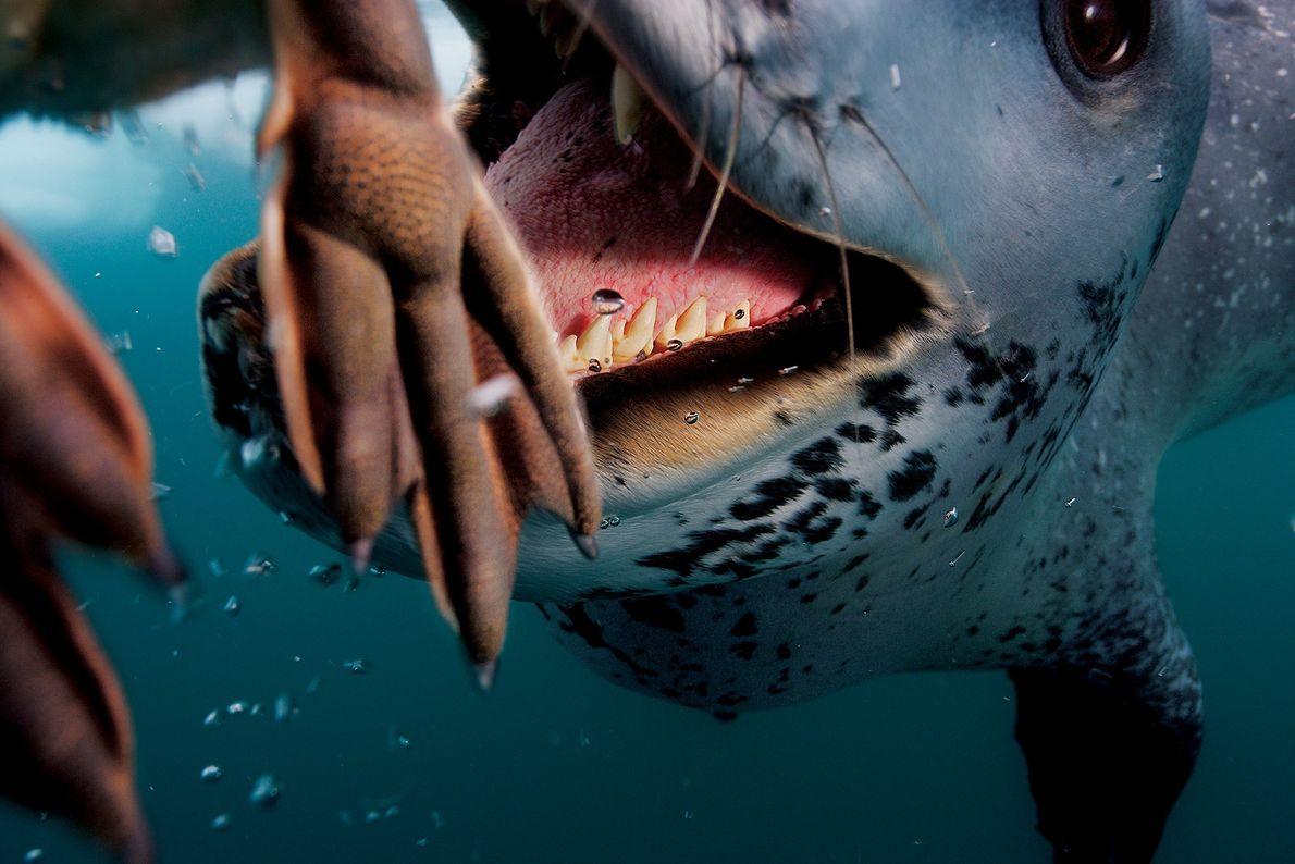 Uma foca-leopardo se dá bem na caça a um pinguim na Península Antártica. Os carnívoros são ...
