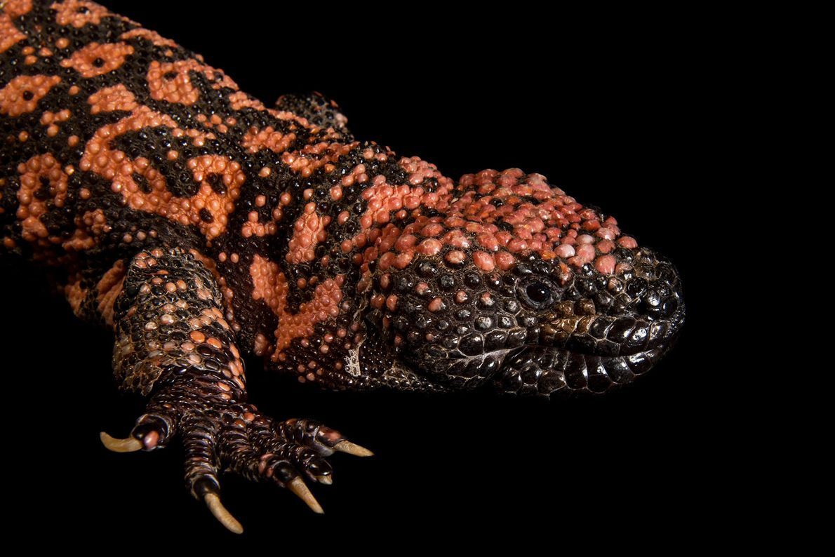 A reticulate gila monster (Heloderma suspectum suspectum) at the Gladys Porter Zoo