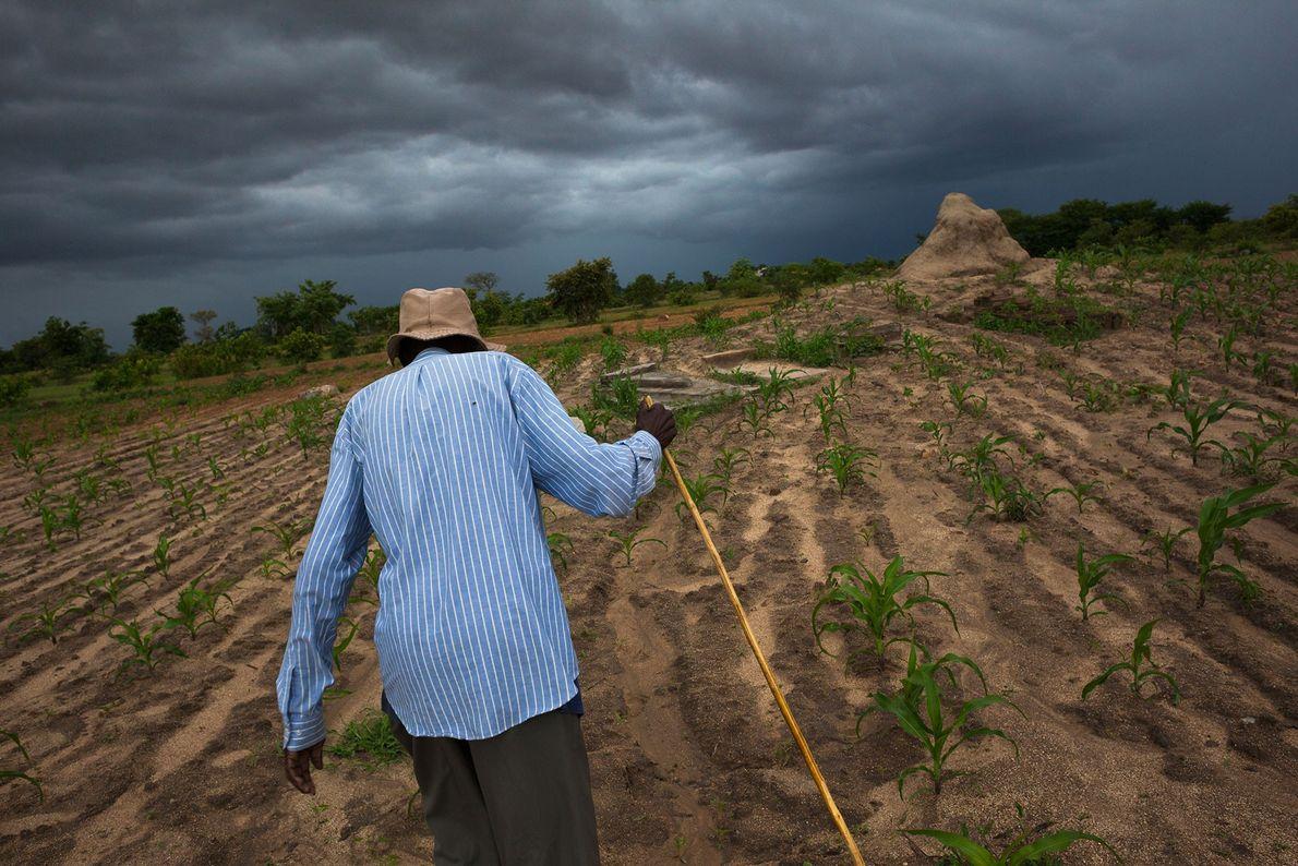 Homem idoso atravessa um campo de milho até os túmulos de quatro de seus dez filhos ...