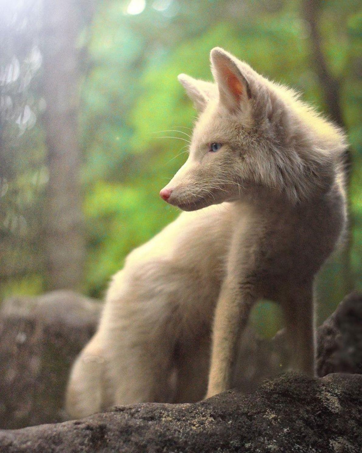 Um Diamante na Floresta. A fotógrafa capturou essa raposa mágica na floresta de Quebec, Canadá.