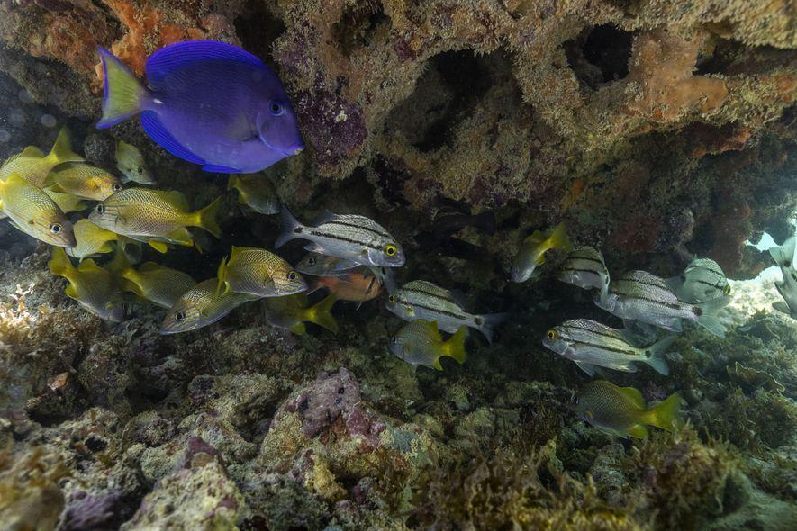 Peixes se abrigam em recife de coral no litoral de Pernambuco. Os recifes servem de proteção ...