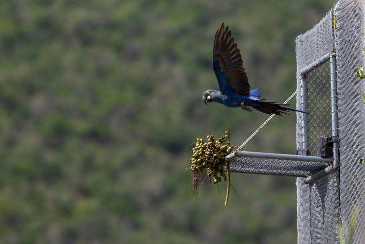 09-arara-azul-de-lear-mulheres-da-conservacao