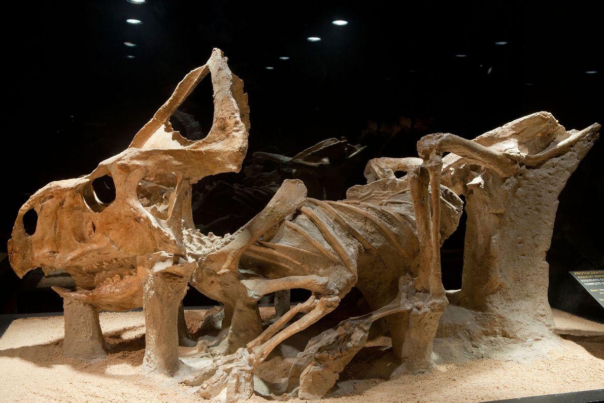 Protoceratops andrewsi, um dos primeiros parentes do Triceratops, um dinossauro com chifres, está exposto no CosmoCaixa ...