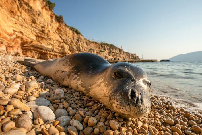 Foca-monge-do-mediterrâneo descansa em praia de Alonissos, parte de um parque marinho nacional que protege focas criticamente ...
