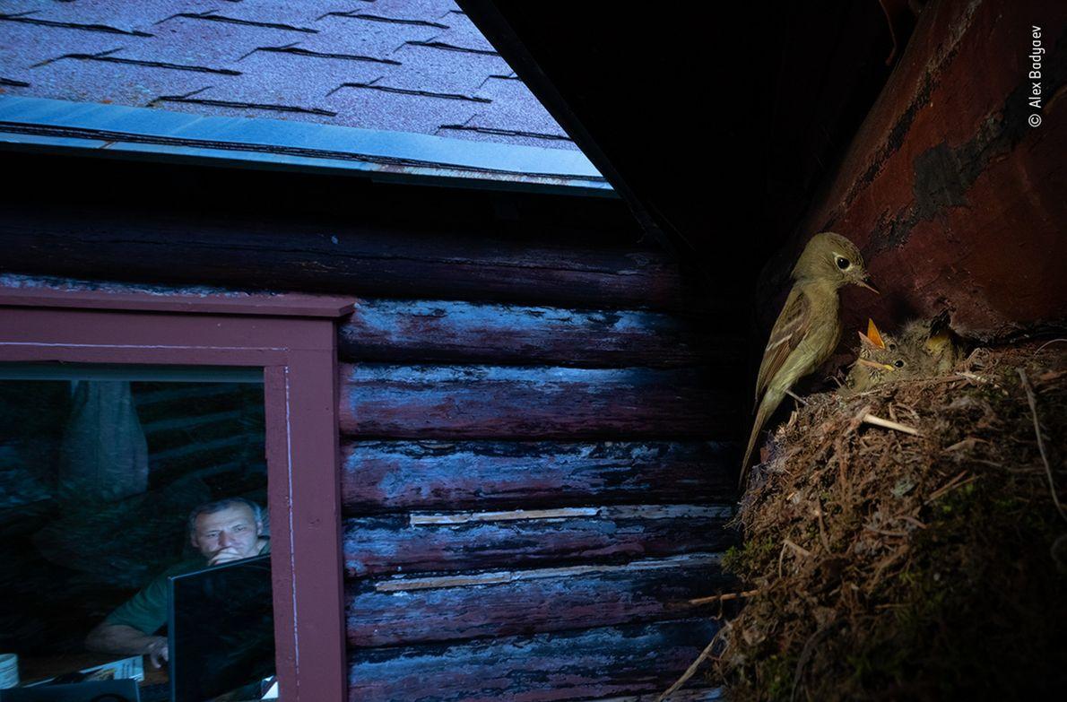 O russo-americano Alex Badyaev fotografou esse papa-moscas-da-cordilheira do lado de fora de sua cabana nas Montanhas ...