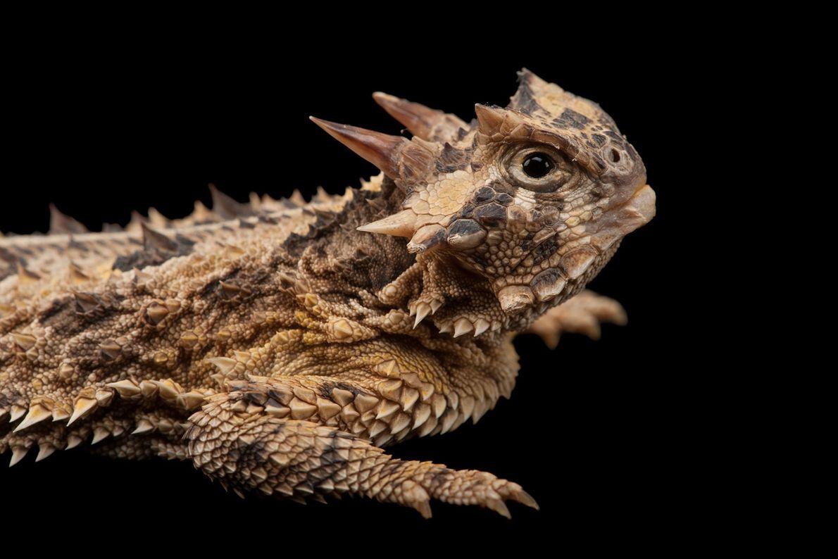 O lagarto-de-chifres do Texas está bem equipado para se defender de seus predadores. Além de exibir ...