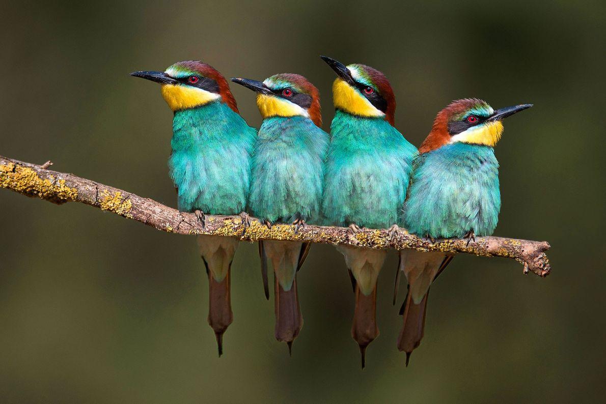 Bee-eaters. Lliçà d'Amunt, Catalonia, Spain