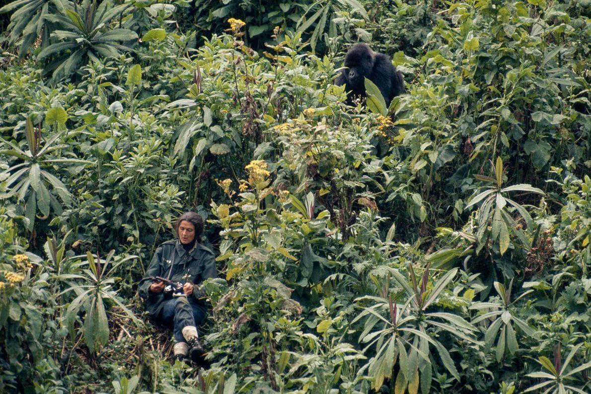 Dian Fossey faz anotações enquanto um gorila chamado Peanuts se aproxima dela pela selva.