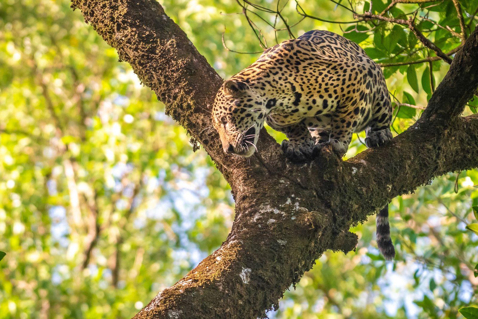Nas florestas de várzea, as onças-pintadas (Panthera onca) agem de forma diferente de qualquer outro grande ...