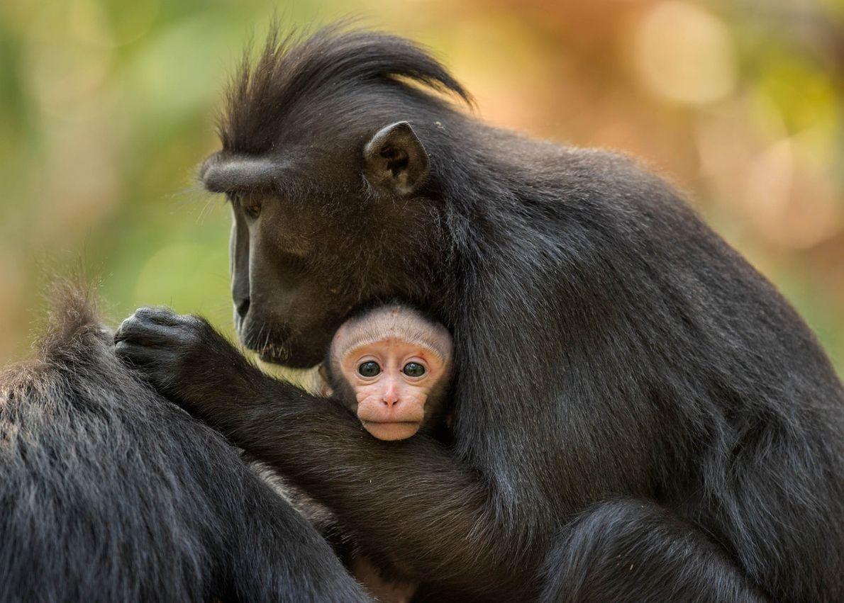 Macacas yaki mães dão luz a um bebê aproximadamente a cada 20 meses e assumem a ...