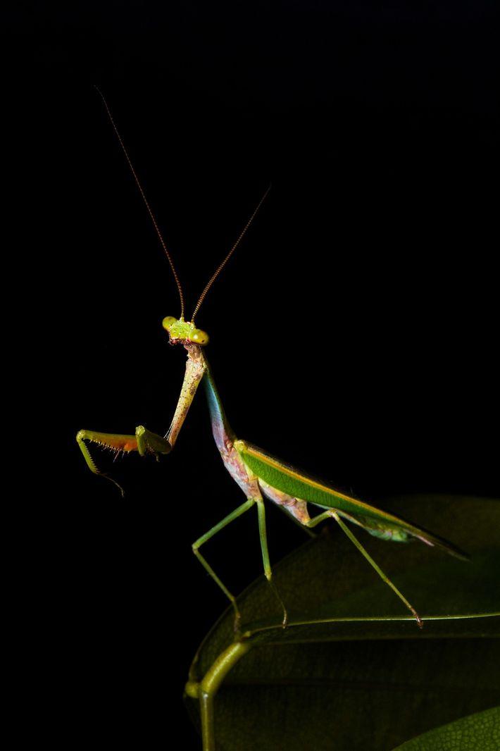 Macho do gênero Parastagmatoptera, às vezes chamado de louva-a-deus arco-íris.