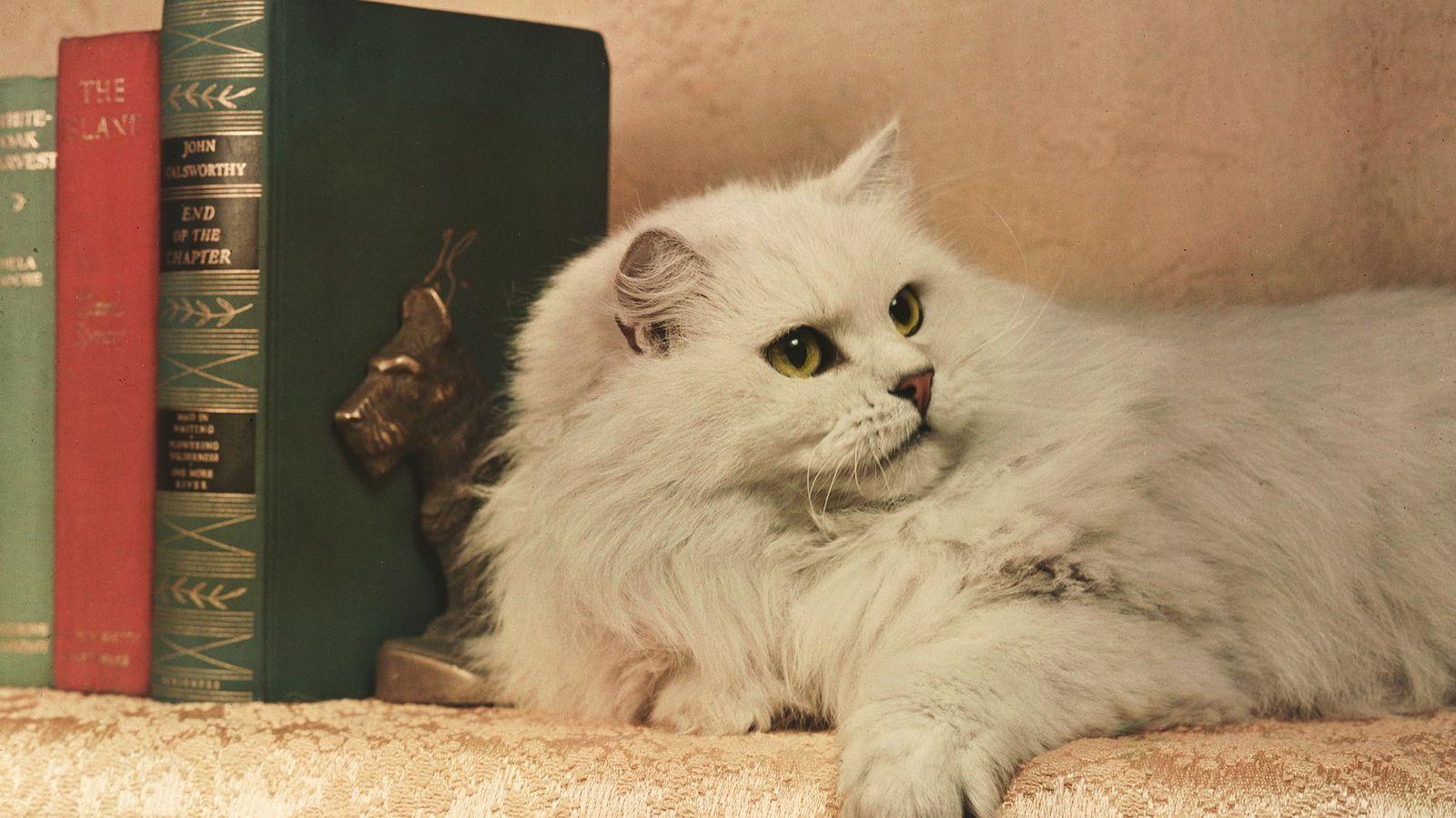 """Um chinchila persa campeão descansa próximo a alguns livros """"como um nobre leãozinho"""", em Bloomsberg, Pensilvânia."""