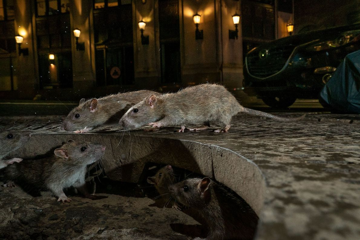 """Charlie Hamilton James venceu a categoria """"vida selvagem urbana"""" com este íntimo retrato de ratos nas ..."""