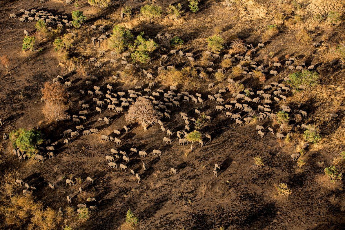 Parque Nacional Zakouma, Chade Uma manada de centenas de elefantes se dirige a um lago no Parque ...