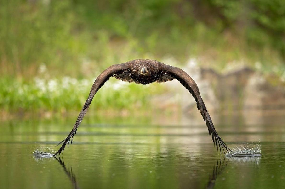 Uma águia-rabalva encosta na superfície de um lago na República Tcheca. A águia-rabalva é uma das ...