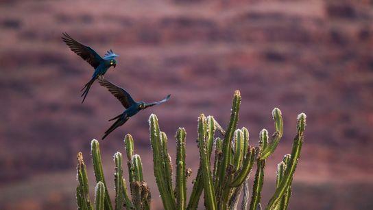 10-arara-azul-de-lear-mulheres-da-conservacao