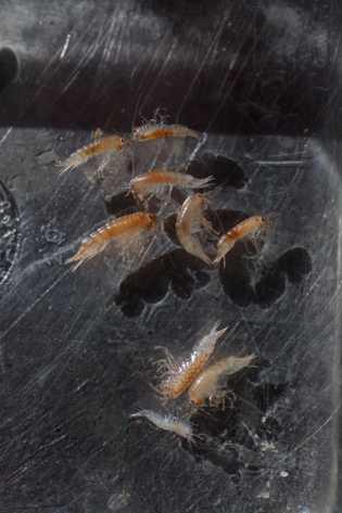 Afípodes são coletados durante mergulhos abaixo do gelo. Chauvaud e Olivier esperam poder usá-los para entender ...