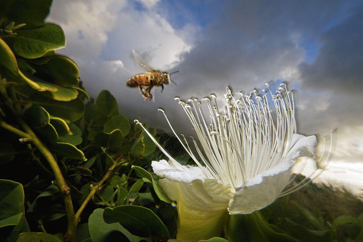 abelha atraída para flor