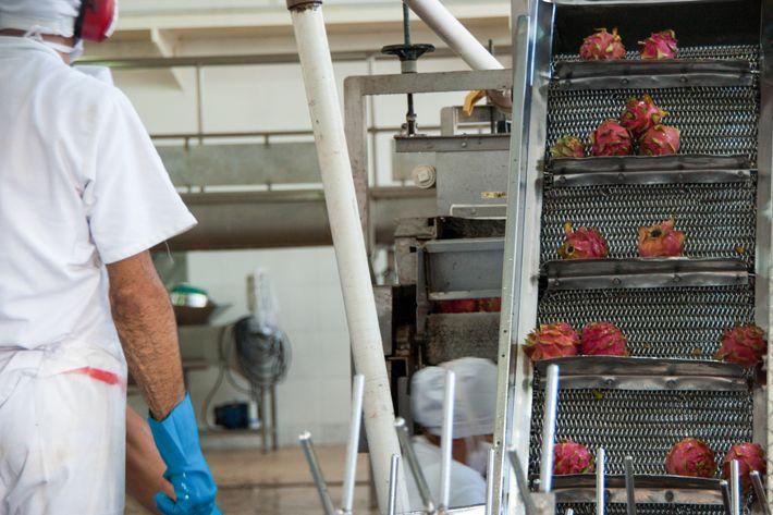 Pitaia é processada para a produção de polpa na agroindústria da Cooperativa Mista de Tomé-Açu.