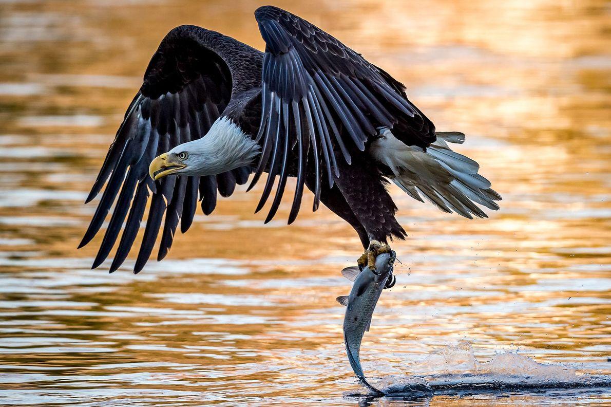 galeria-de-fotos-animais-em-acao-aguia-captura-peixe