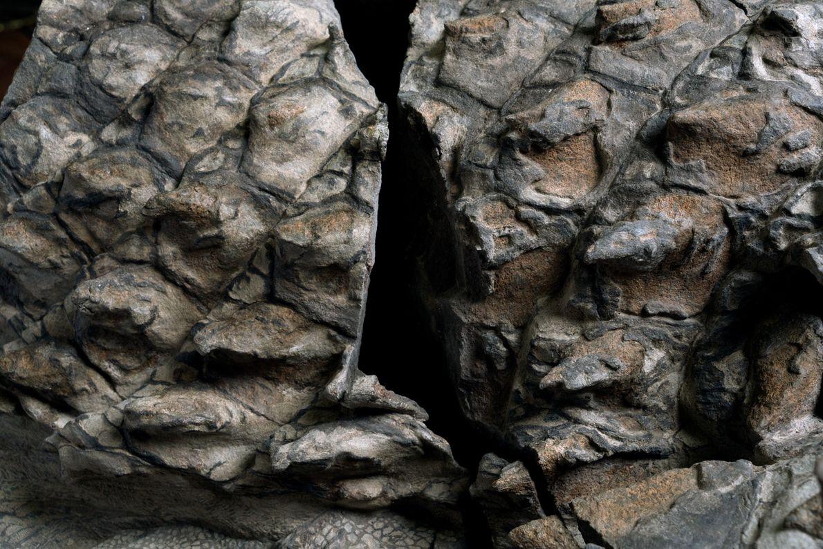 Muitas das placas com cor de terracota do nodossauro preservaram revestimentos que outrora foram de queratina, ...