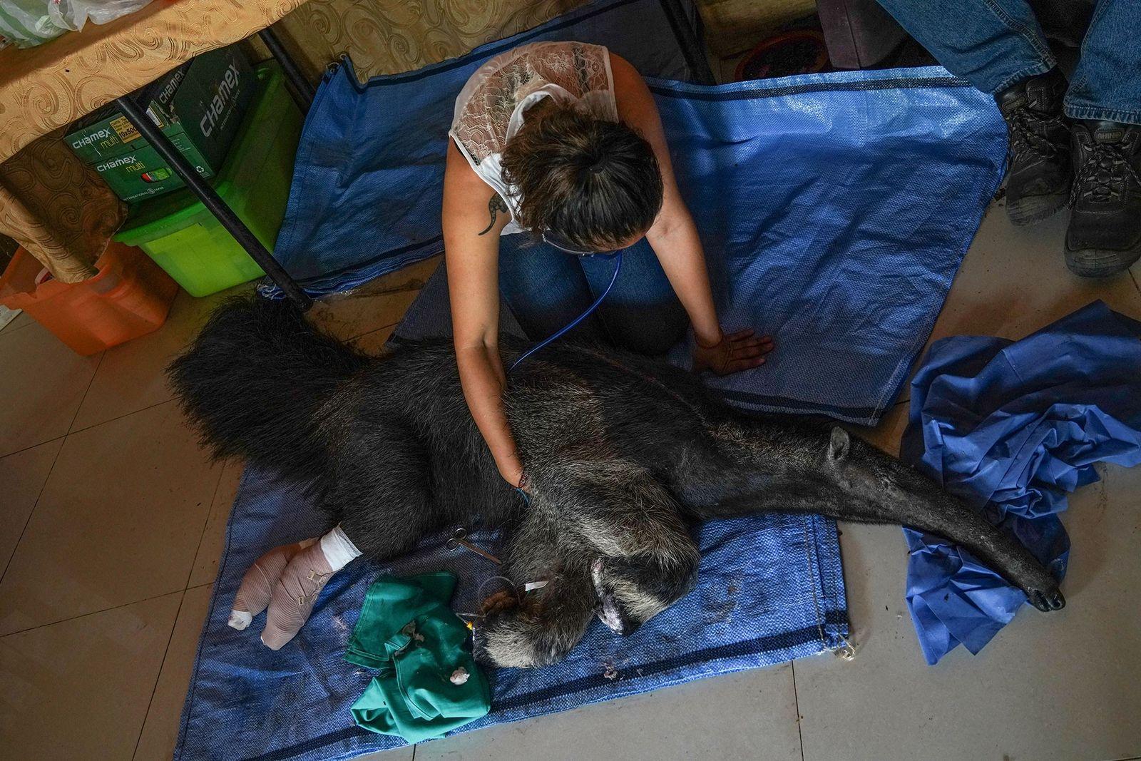 A bióloga Daniela Vidal monitora os sinais vitais da tamanduá Valentina. Logo após ter sido internada ...