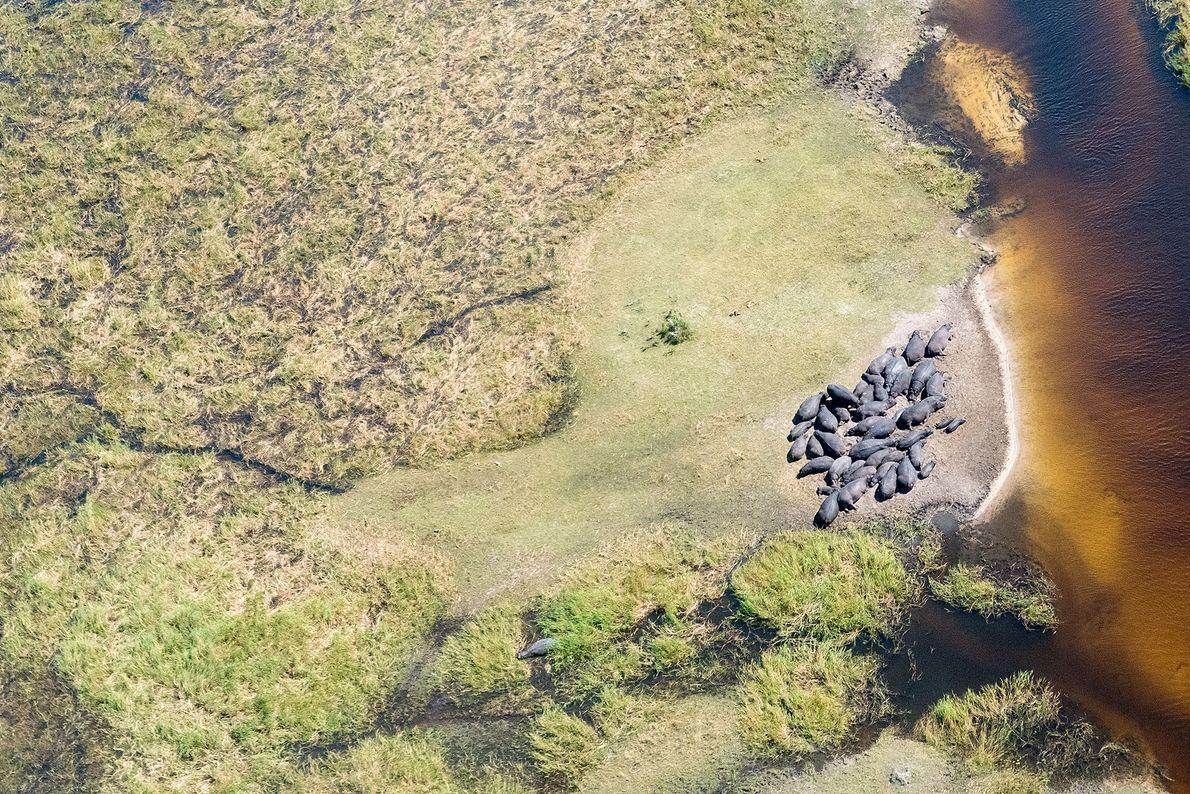 Hipopótamo. África