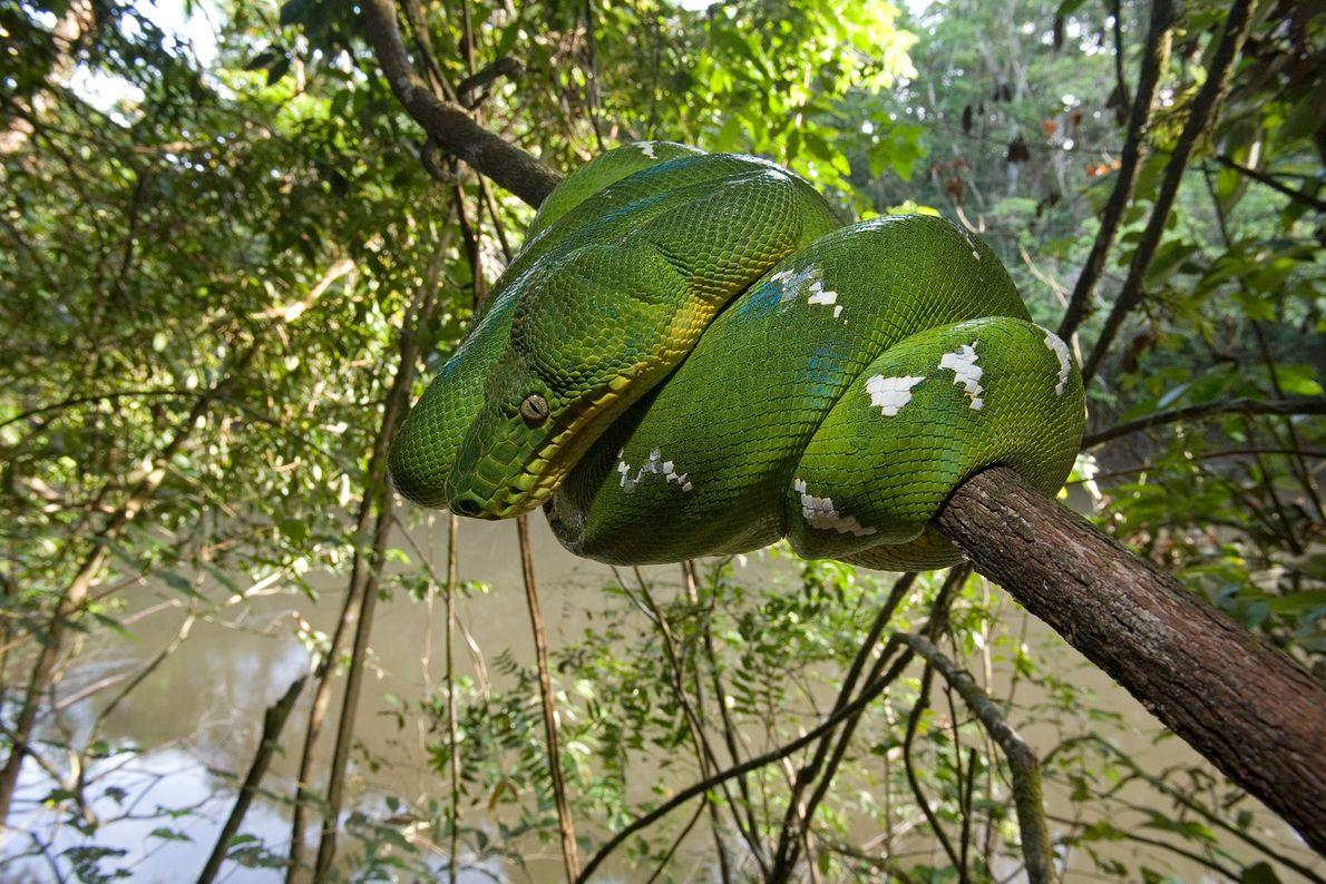 Uma jiboia-verde se enrola em volta de um galho. Guiana.