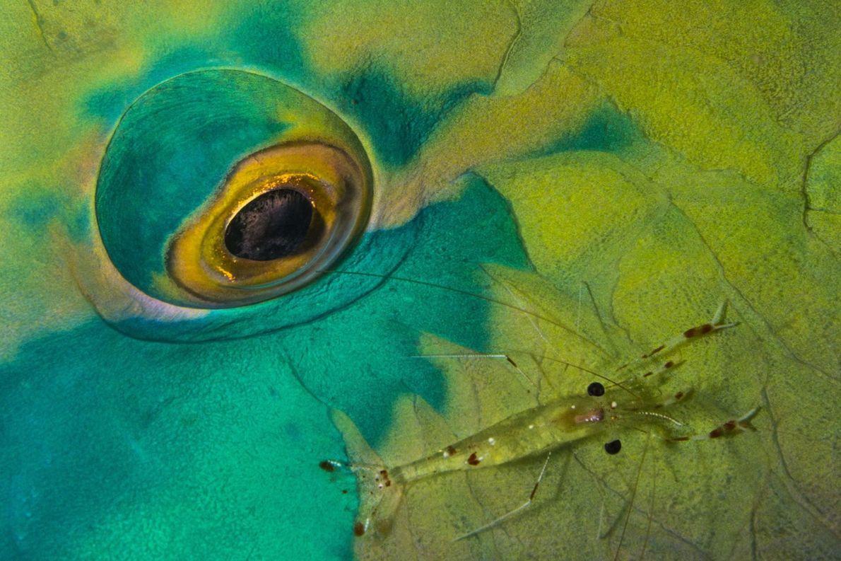 Peixe-papagaio e camarão-limpador