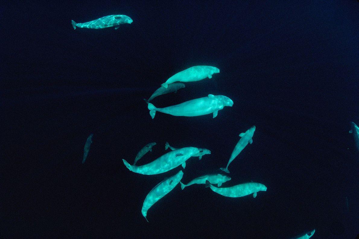 Um grupo de belugas é fotografado a 60 metros de profundidade nas águas do mar Ártico, ...