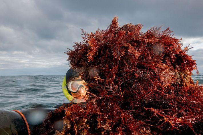 Mesmo fora da temporada, quando é ilegal colher algas marinhas no Marrocos, centenas de mergulhadores trabalham ...