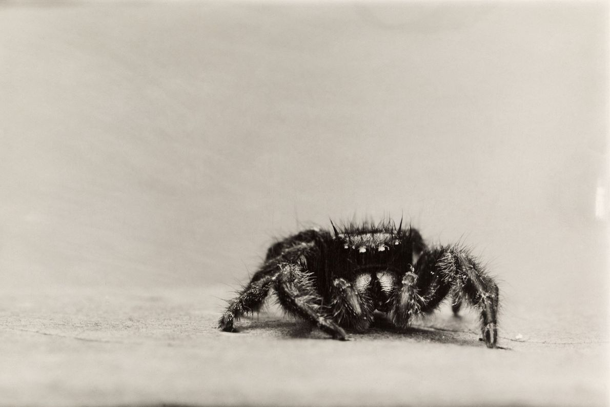 Aranhas saltadoras, um grupo muito diverso, conhecido por suas cores e rituais elaborados de acasalamento, têm ...