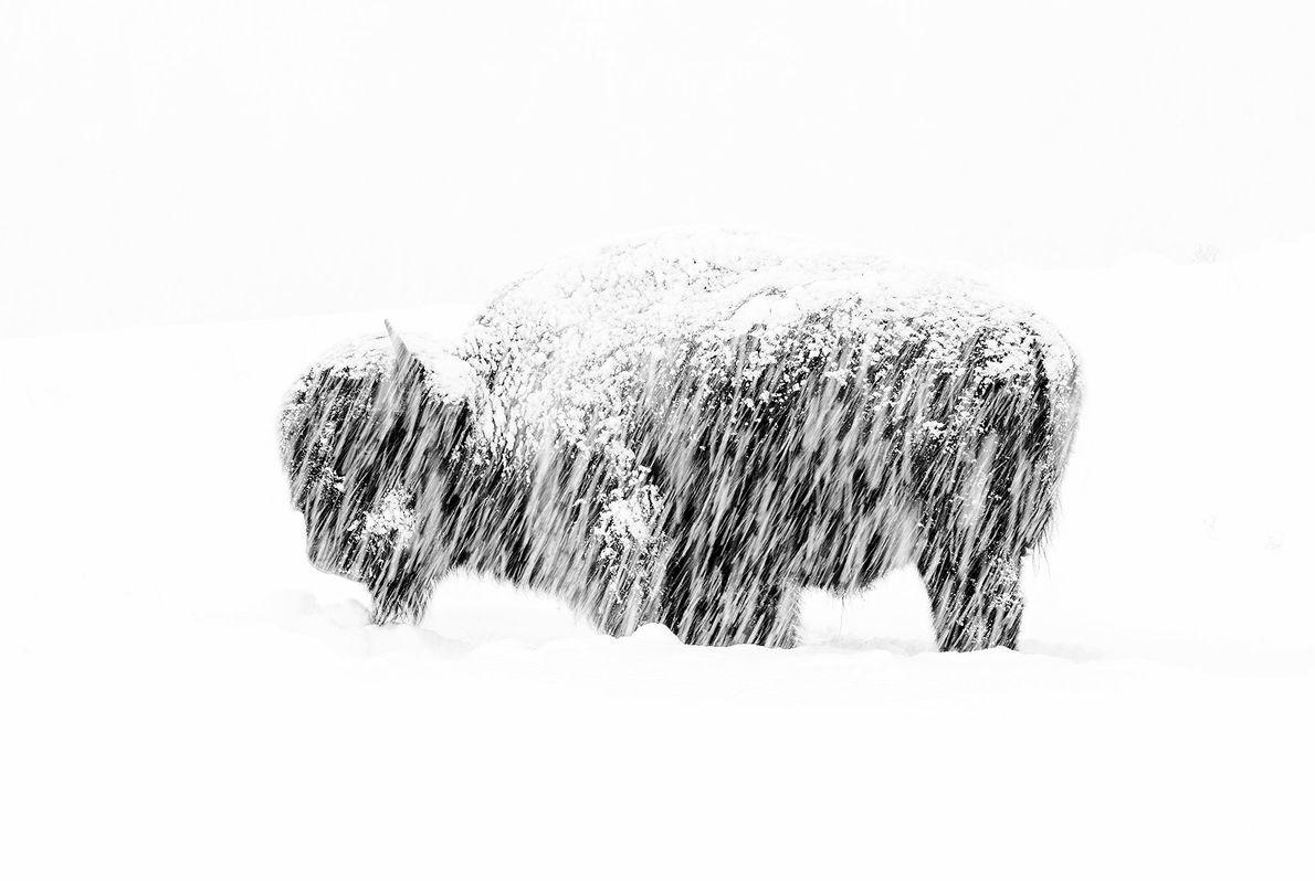 Esta foto de um bisão solitário em uma nevasca no Parque Nacional Yellowstone deu a Max ...