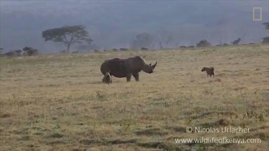 Mãe rinoceronte ensina hienas famintas a não mexer com seu filhote