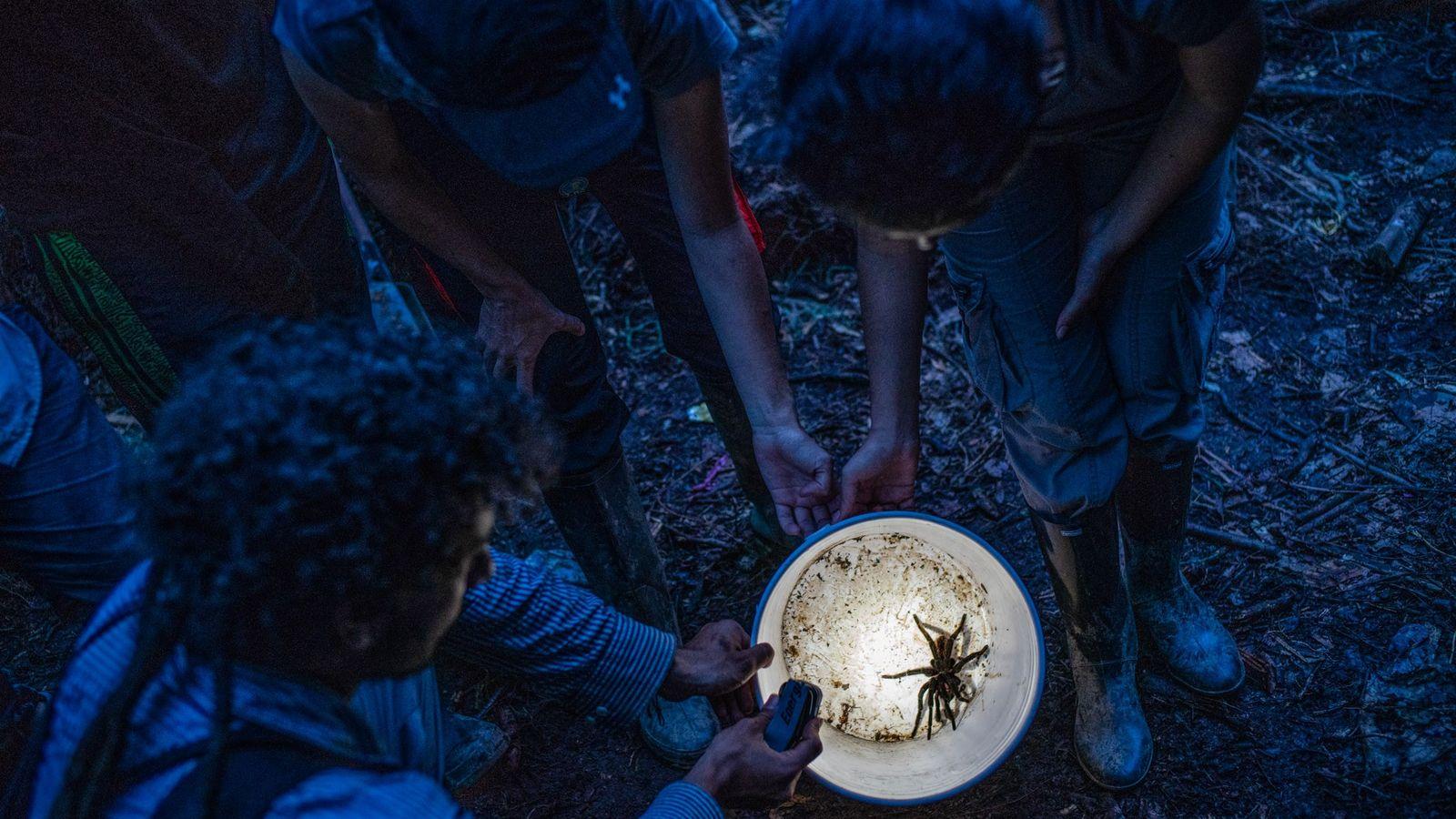 Biólogos examinam uma espécie de tarântula colombiana que encontraram, a Xenesthis immanis.