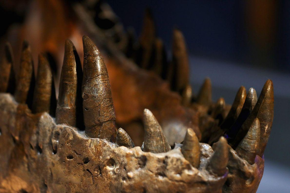 """Este close-up mostra os formidáveis dentes e mandíbulas de uma fêmea Tyrannosaurus rex conhecida como """"Trix"""", ..."""