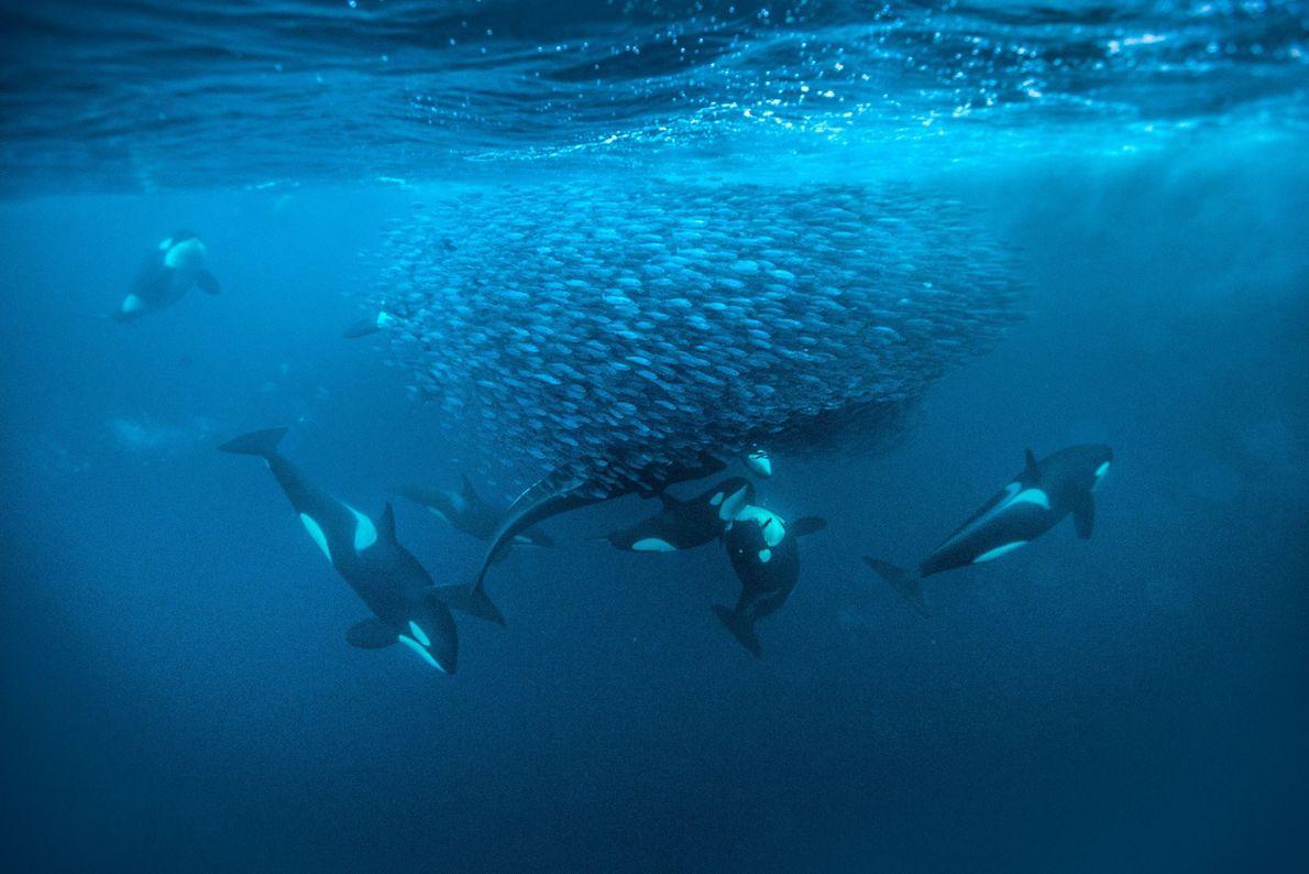 orca-baleia-assassina-noruega-galeria-de-fotos