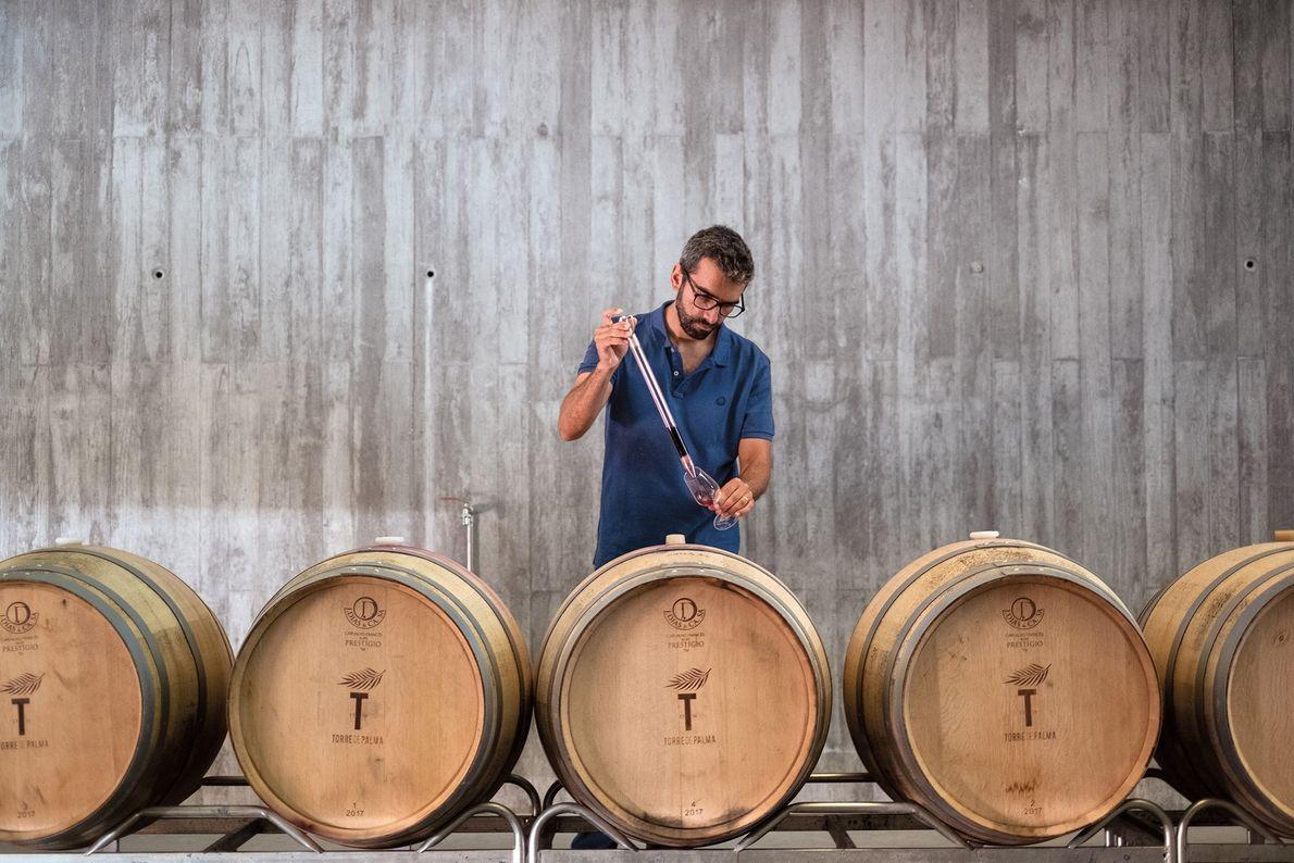 O enólogo Duarte de Deus trabalha no processo de envelhecimento do vinho na adega da Torre ...