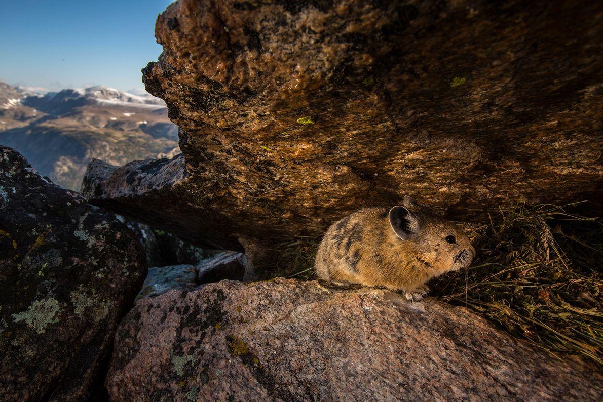O pika, raramente visto, é capturado passado por uma câmera remota no Parque Nacional Yellowstone, Wyoming.
