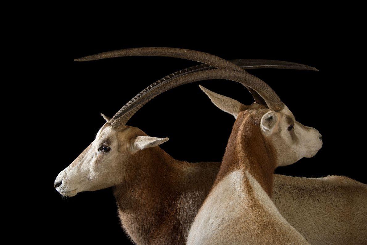 Dois órix-de-cimitarra exibem seus longos e afiados chifres.  Todos os órix-de-cimitarra contam com um par ...