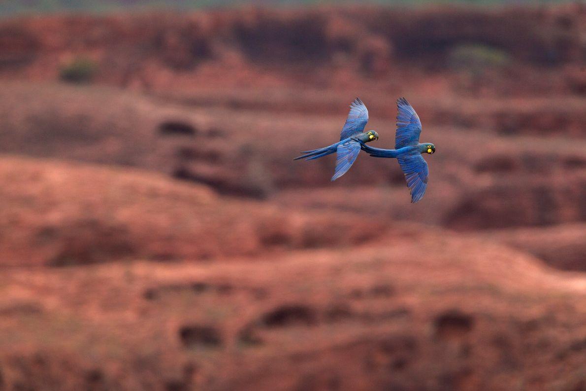 arara-azul-de-lear