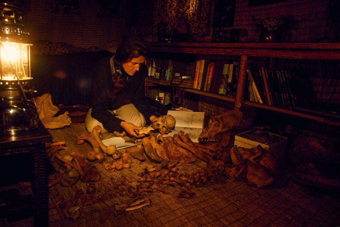 Fossey guardava uma coleção de ossos e crânios de gorilas para pesquisa, e enviou alguns para ...
