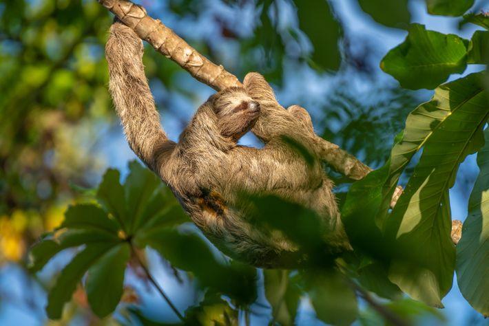 A preguiça-de-três-dedos (Bradypus tridactylus) aninha-se em uma embaúba na Estação Ecológica de Maracá-Jipioca, no Amapá. Entre ...