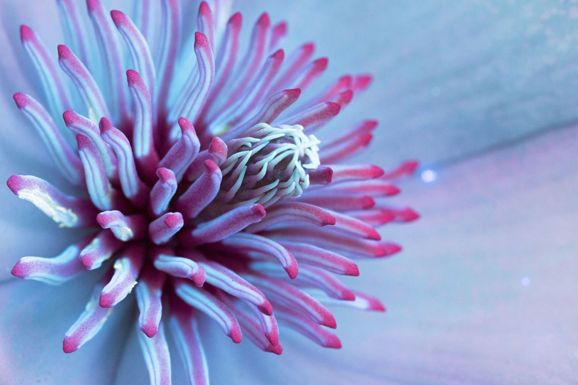 brilho-das-flores-ultravioleta-magnolia-chinesa